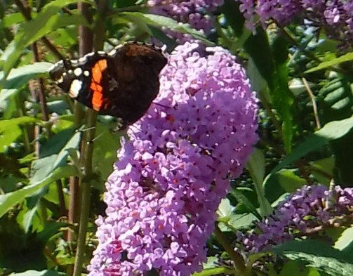05.08.18 s red ADMIRAL